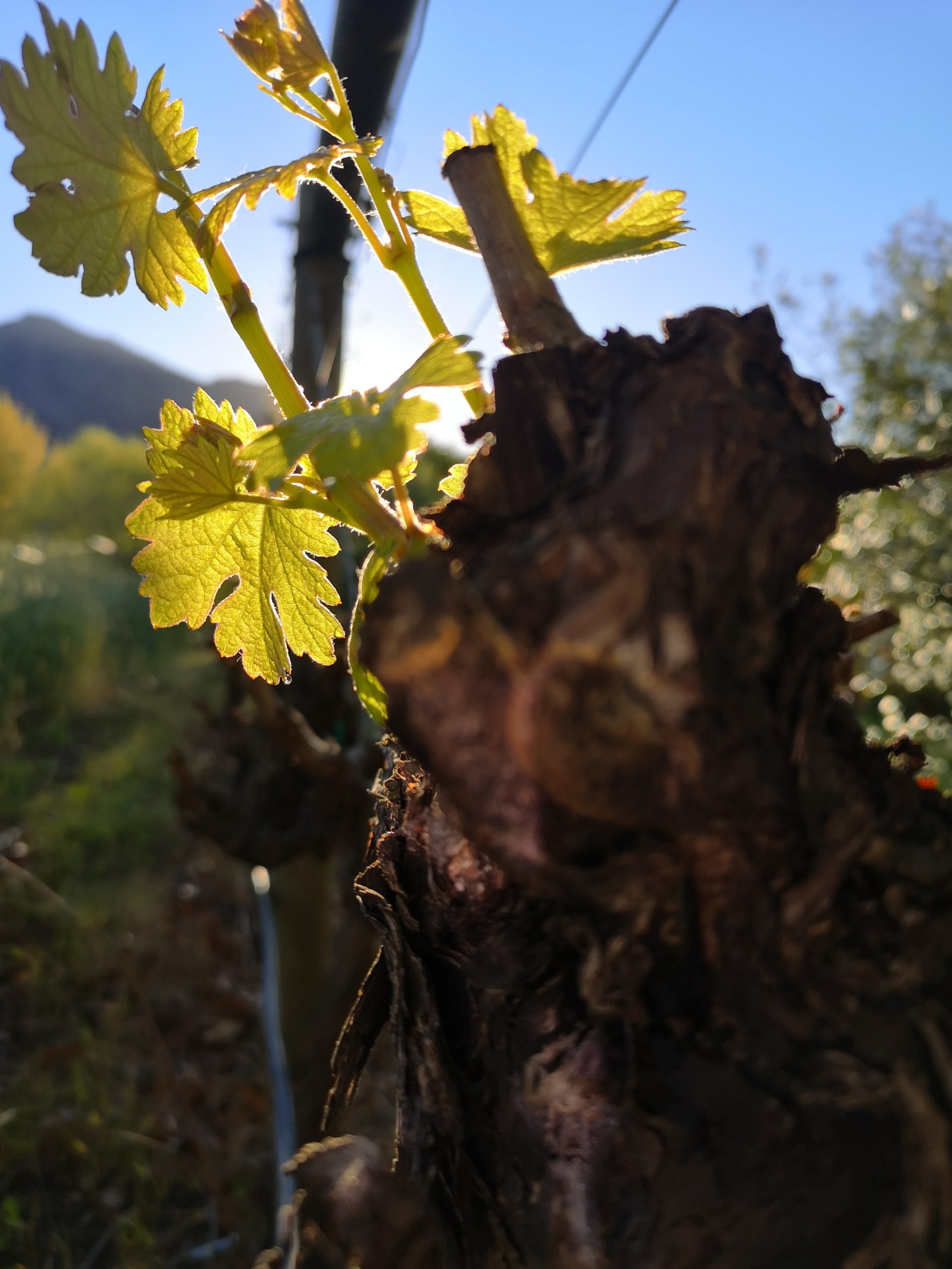 Vines - Franschhoek Vineyard Hopper